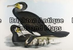 20-400 - Australian Cormorant John Gould - circa 1840-48 Hand coloured lithograph 53cm X 37cm Condition A+