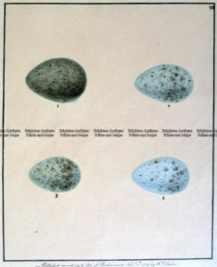20-422  British birds eggs by Lewin c.1789