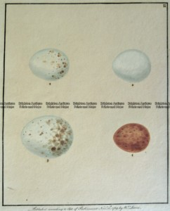 20-423  British birds eggs by Lewin c.1789