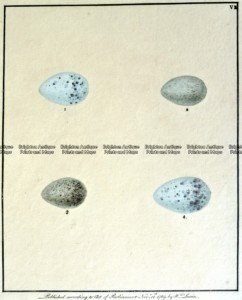 20-424 British birds eggs by Lewin  c.1789