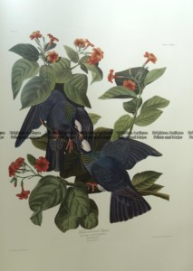 20-429  Whte-crowned Pigeon by Audubon - Ariel Edition 1973
