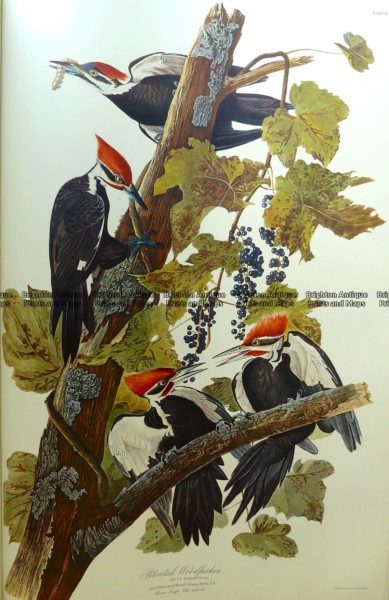 20-430  Pileated Woodpecker or Picus Pileatus by Audubon