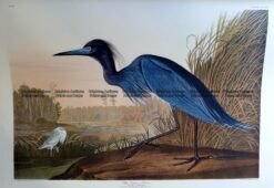 20-433  Blue Crane or Heron by Audubon