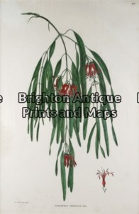 21-268 - Botanical - Australian Joseph Banks circa 1905 Hand coloured lithograph 30cm X 46cm Condition A+