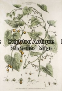 21-272 - Botanical John Miller - circa 1777 Hand coloured copperplate engraving 30cm X 45cm Condition A+