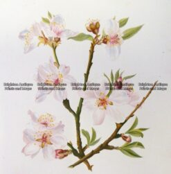 21-360  Botanical - Almond  c.1870