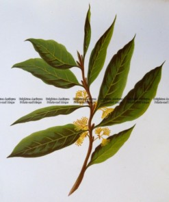 21-362  Botanical - Bay Leaves  c.1870