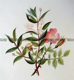 21-363  Botanical - Myrtle Tree  c.1870