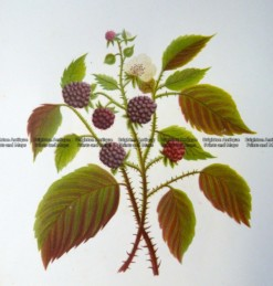 21-375  Botanical -Blackberry  c.1870