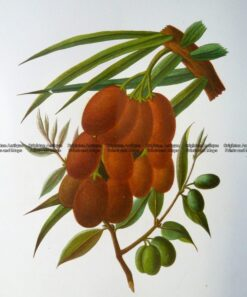 21-378  Botanical - Olives  c.1870