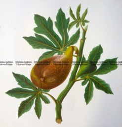 21-379  Botanical - Figs  c.1870