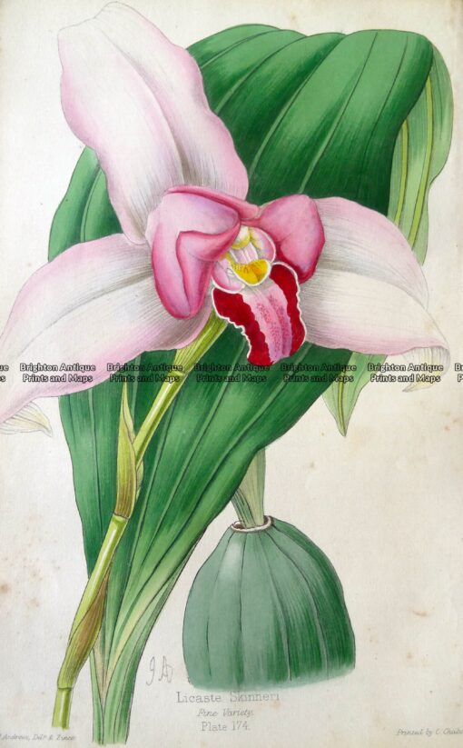 21-381  botanical – Orchid by Andrews  c.1860