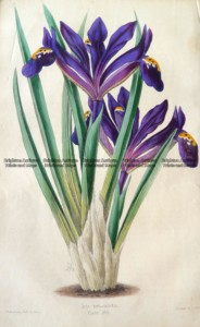 21-383  Botanical - Iris by Andrews c.1860