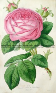 21-384  Botanical - Rose by Andrews c.1860
