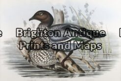 24-403 - John Gould Birds of Australia - Maned Goose - - John Gould - circa 1840 - 1848 - Hand coloured lithograph - 53cm X 37cm - Condition A+