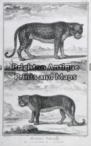 25-305 - Animals - big cats Buffon - circa 1770 Copperplate engraving 20cm X 33cm Condition A+
