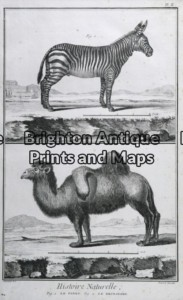 25-307 - Animals - Zebra and Camel Buffon - circa 1770 Copperplate engraving 20cm X 33cm Condition A+