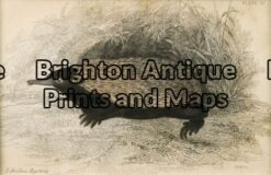 25-312 - Animal - Australian Mammal Echidna Lizars - circa 1850 Hand coloured engraving 14cm X 9cm Condition A+