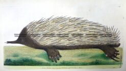 25-339  Echidna - Porcupine Ant-eater by Nodder & Shaw c.1792