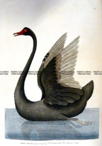 25-343  Black Swan by Nodder & Shaw  c.1792
