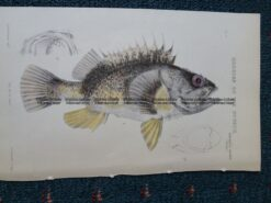 25-345 Banded Red Gurnet Perch (found in Vic) by McCoy