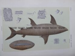 25-346  Cetorminus Maximus (fish found in Vic) by McCoy