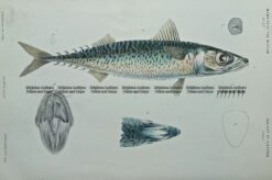 25-347  Southern Mackerel (fish found in Vic) by McCoy