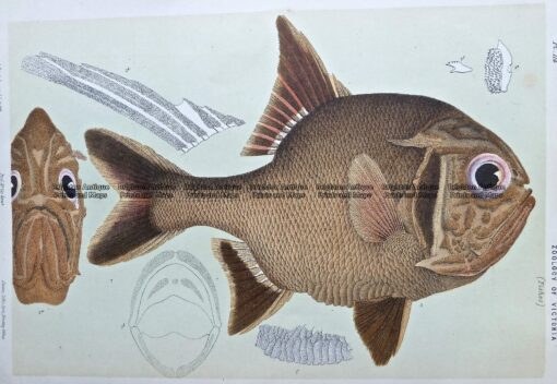 25-348  Australian Rough (fish found in Vic) by McCoy