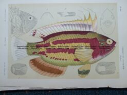 25-349  Macleay's Wrasse (fish in Victoria) by McCoy