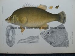 25-350  Murray Golden Perch (fish found in Vic) by McCoy