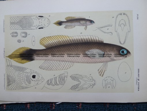 25-353  Trachinops (fish found in Vic) by McCoy
