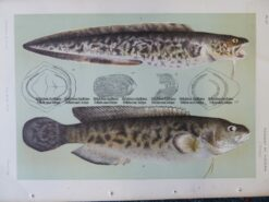 25-354  Rockling (fish found in Vic) by McCoy
