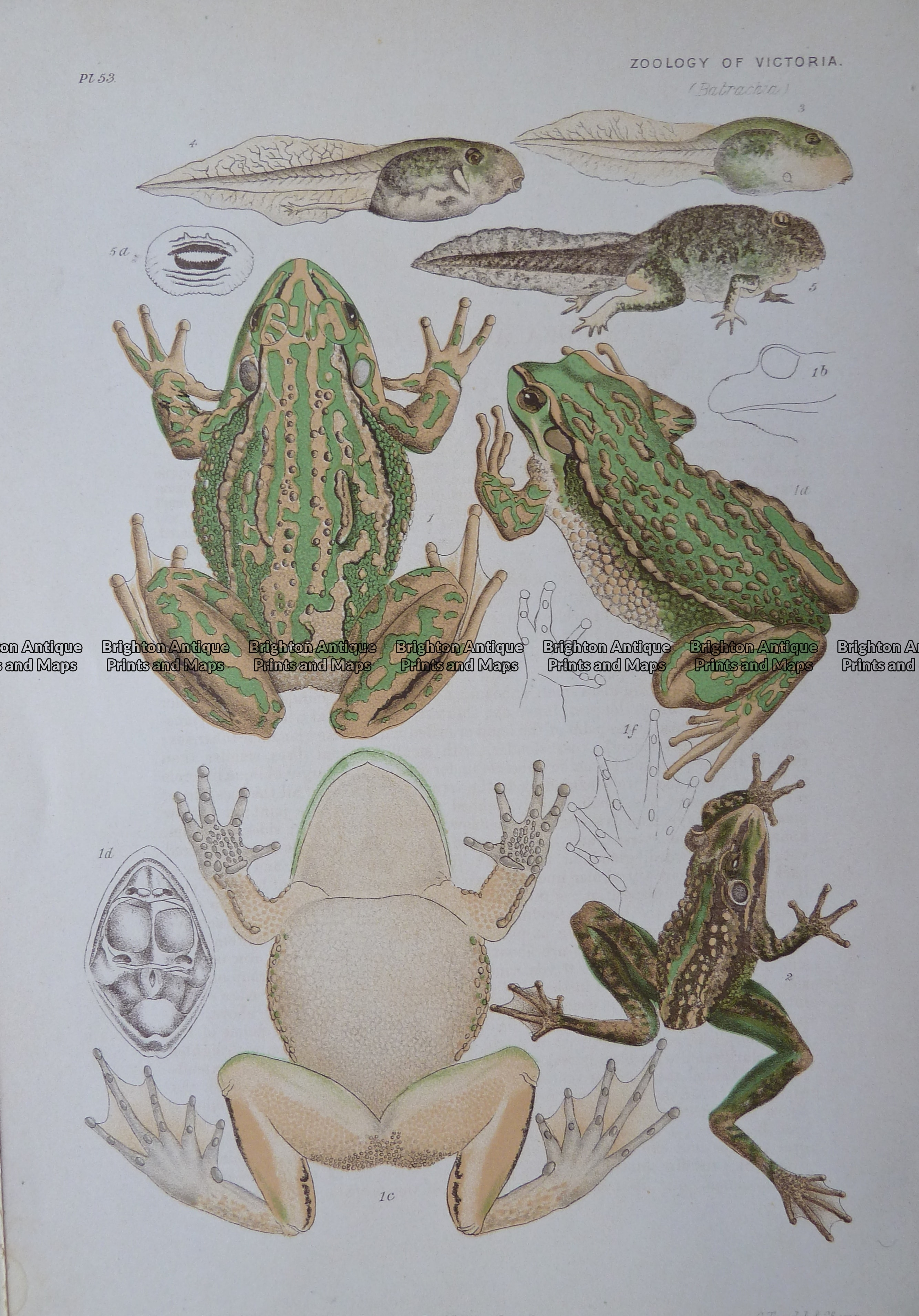 25-355  Bell Frog (found in Vic) by McCoy
