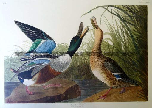 29-431  Shoveler Duck or Anas Clypeata by Audubon